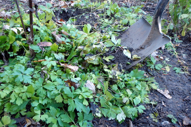 a shovel digging up a solid groundcover of snowdrop anemone