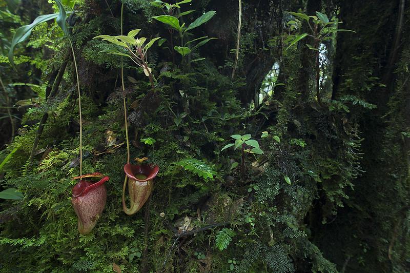 Carnivores et orchidées in situ  22853943107_9cbca4cc49_c