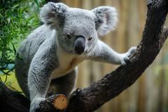 Koala Stretched on a Branch