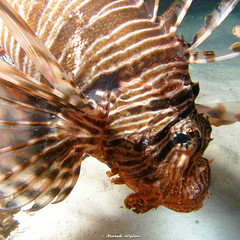 Lionfish | Red Sea | 2007.04.30