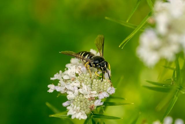 2016 Sweat Bee 2 (Explored), Nikon D500, AF Micro-Nikkor 200mm f/4D IF-ED