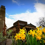 Daffodils in front of the Harris, Preston