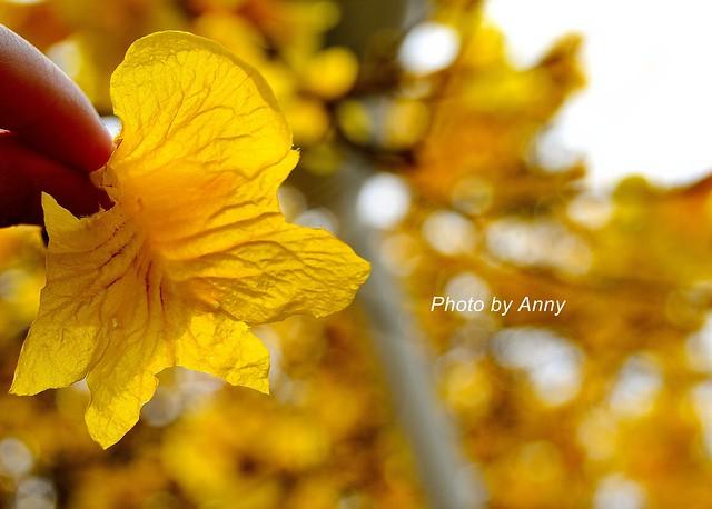 黃風鈴木43