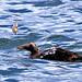 Carol Riddell has added a photo to the pool:Common Eider, Westport, Grays Harbor County, WA, October 21, 2012.ebird.org/ebird/view/checklist?subID=S24851889