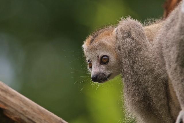 Little Lemur