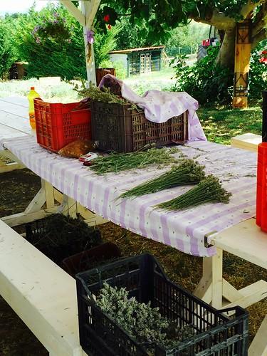 Raccolta della lavanda#natura#oliessenziali#lavanda#vacanze2015💋