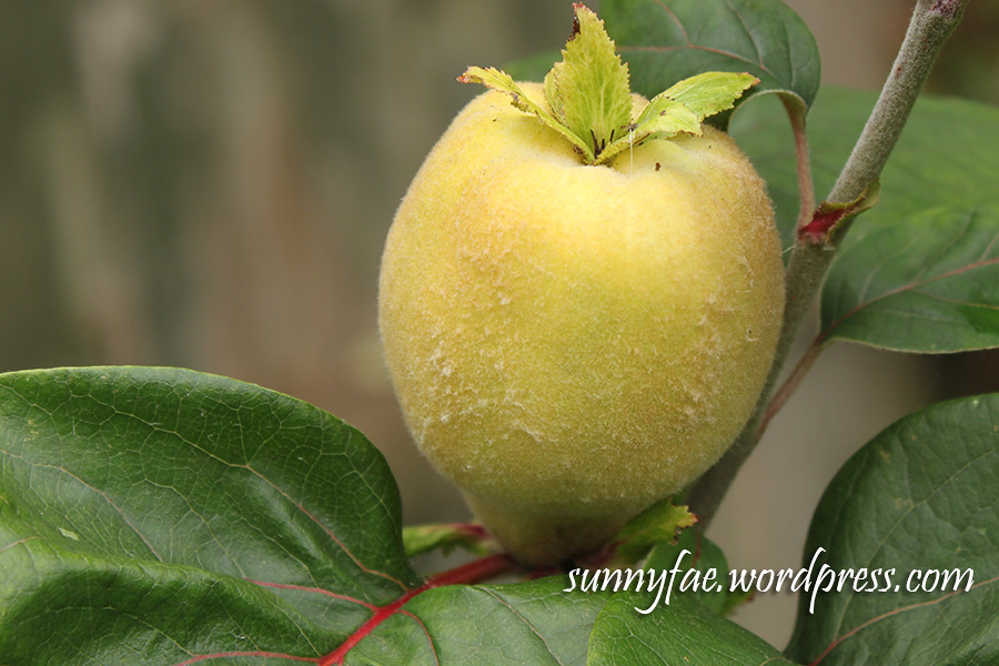 Quince (fruit)