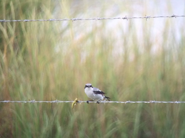 Loggerhead Shrike 09/21/15 Smith Point Chambers Co, TX