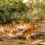 Leopard & Impala Mombo Botswana.jpg