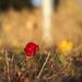 Rose by pzychobitch