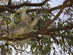 Koala bear with a child