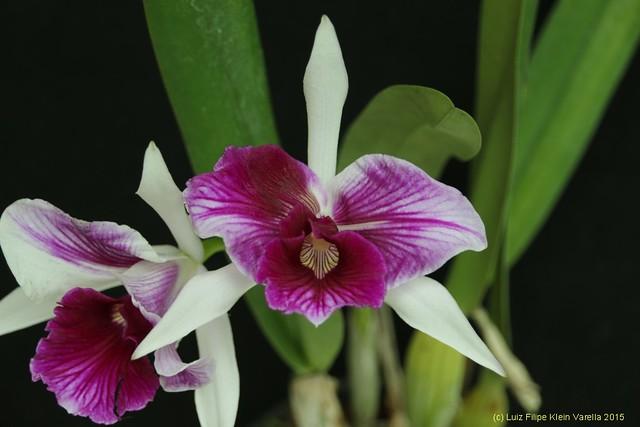 Laelia purpurata trilabelo - cultivo Orquidário Rincão