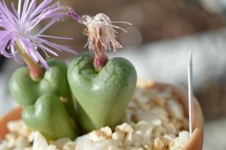 DSC_2138 Conophytum ficiforme Worcester f.Pink  コノフィツム フィキフォルメ ピンク花