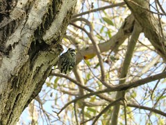 Black-and-white Warbler in Irvine, CA