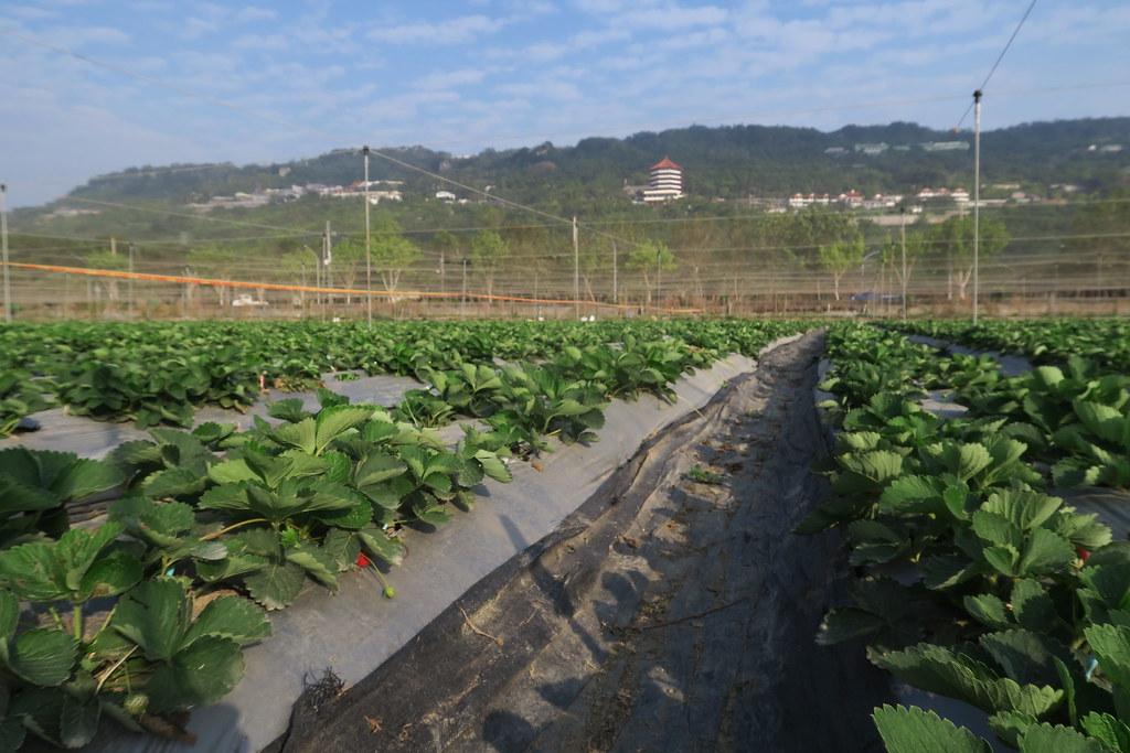阿蓮三本草莓園 (6)