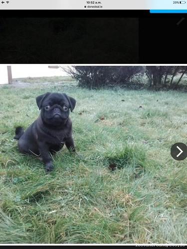 Fri, Feb 3rd, 2017 Lost Male Dog - The Local Area, Fedamore, Limerick