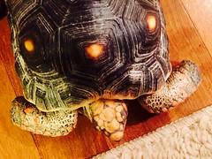 Tuddy the turtle visits Anaya the dog