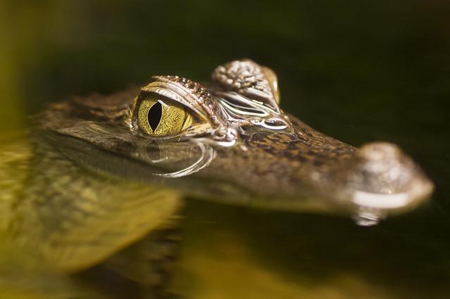 Alligator tears