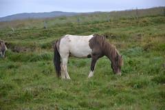 Pferde aus Island 40