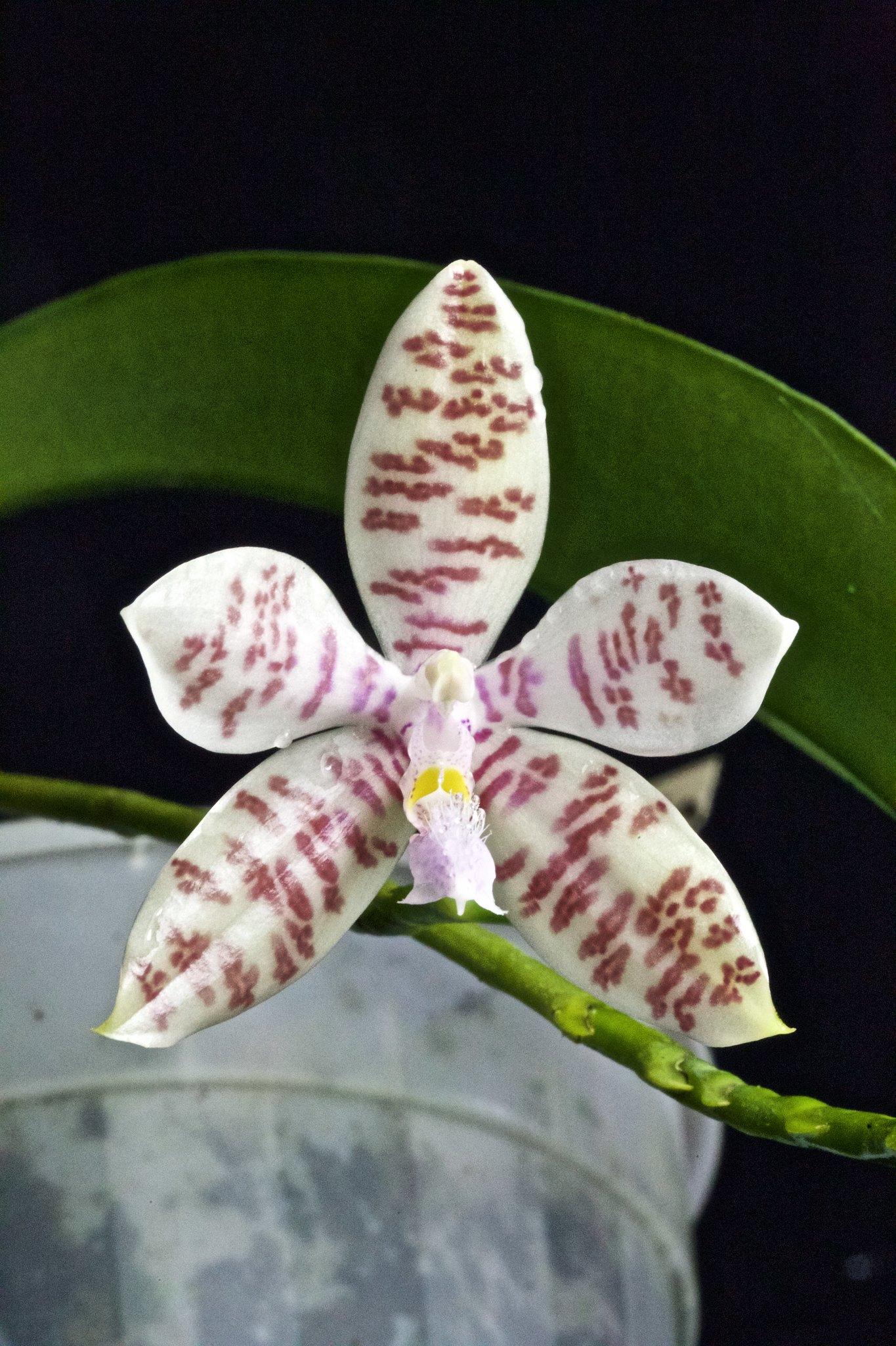 Phalaenopsis hieroglyphica 20977434604_1d157532ea_k