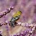 Lesser Goldfinch on Lavendar by ♞Jenny♞