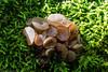 Beech Jellydisc Fungus  (Neobulgaria pura) by BiteYourBum.Com Photography