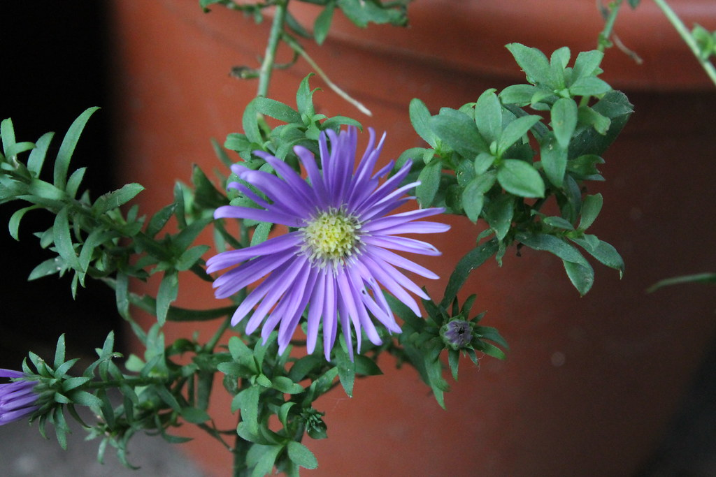 The world 39 s best photos of fiore and settembrino flickr - Aster pianta ...