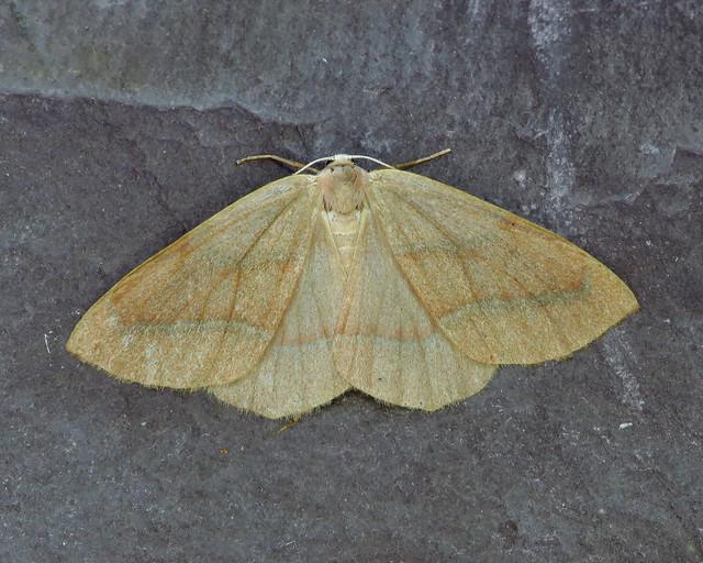 70.284 Barred Red - Hylaea fasciaria
