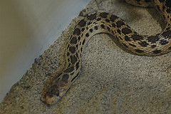 D70-0812-023 - Pacific Gopher Snake