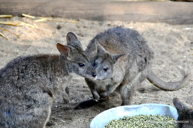 Wallabies Featherdale Wildlife Park