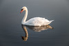 Swan Reflection by rebecca_e_johnson