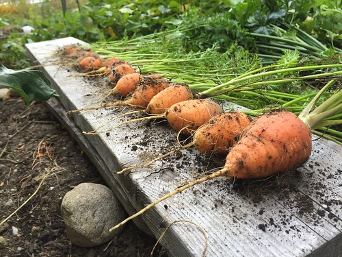 fal harvest oxheart carrots IMG_3487
