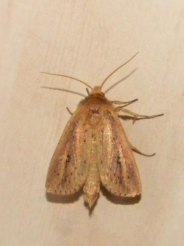 moth insects archanarasparganii