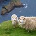 Moutons sur les falaises d'Hermaness [ Unst ~ Îles Shetland ] by emvri85