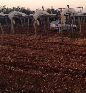 Rutigliano-Ancora furti d'uva a Rutigliano- (4)