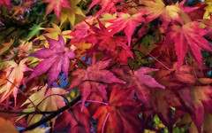 Last Colors Before Winter (Japanese Maple)