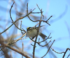 Golden-crowned Kinglet/ Spring Valley Wildlife Area/ 1-7-2017