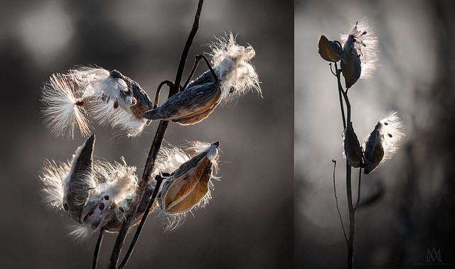 milkweed diptych