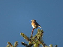 """Eastern Bluebird"" Turdidae Sialia sialis"