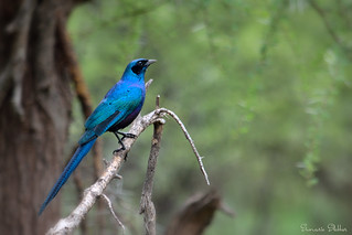 Meves's glossy-starling (Lamprotornis mevesii)