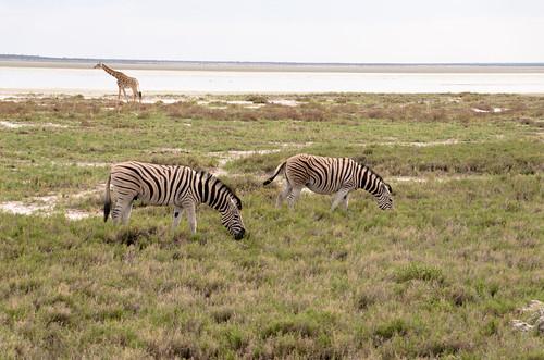 animal burchellszebra ethoshanationalpark etosha giraffe landscape nationalpark zebra oshikotoregion namibia