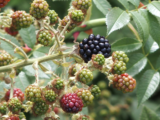 Mesolithic Meals: Ripening blackberries