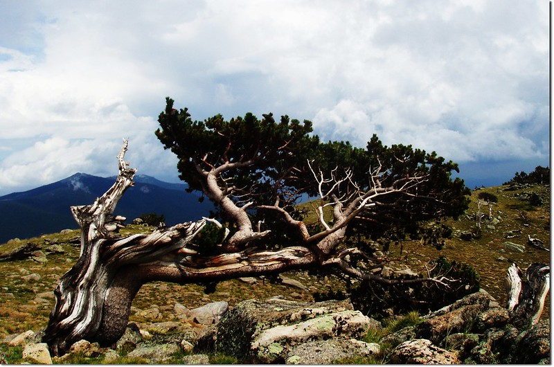 bristlecone pine, Mount Goliath Natural Area