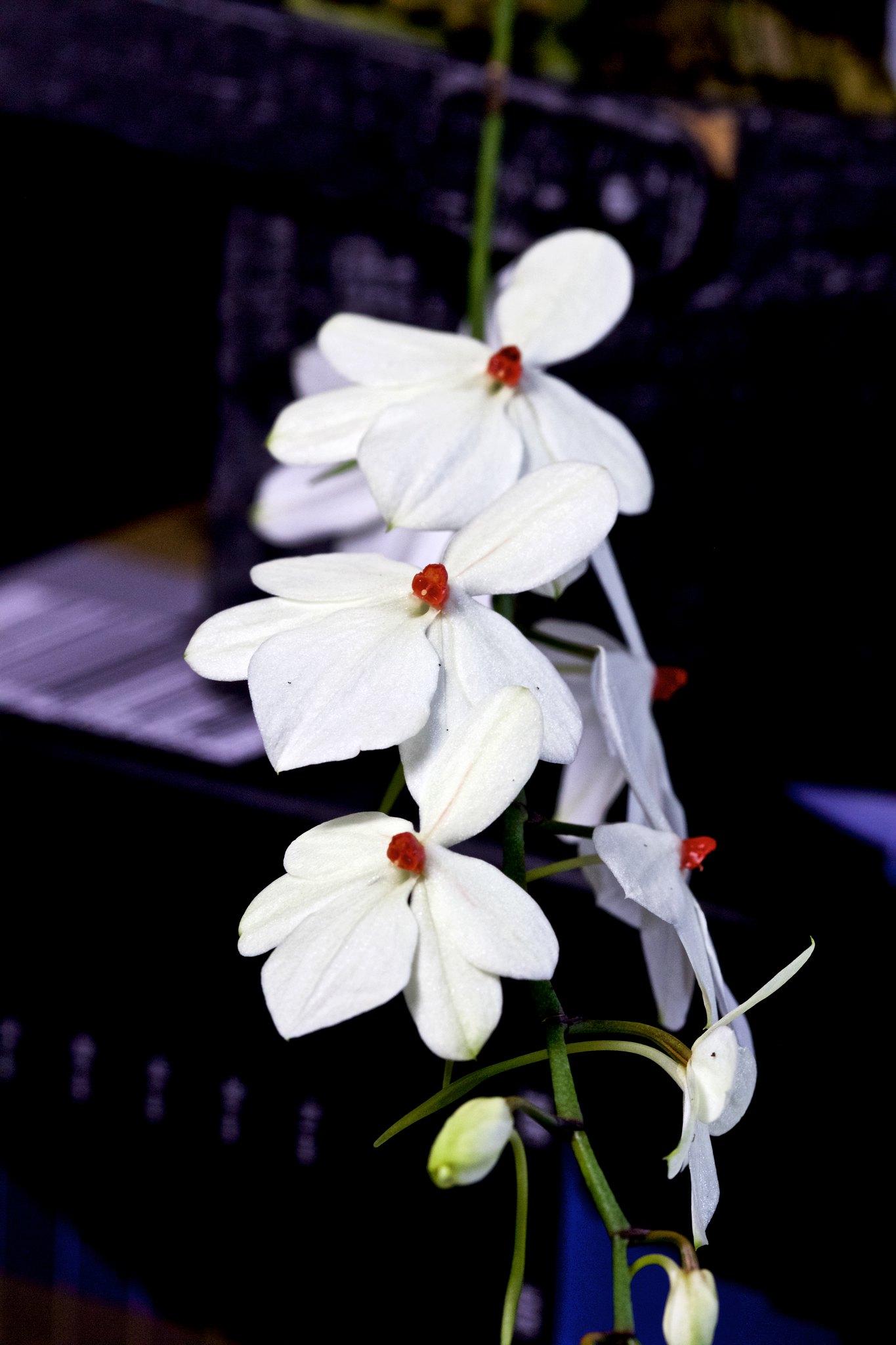 Aerangis luteoalba var. rhodosticta 20854733971_c2fc288e80_k