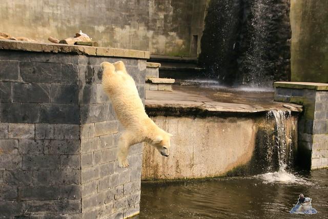 Eisbär Fiete im Zoo Rostock 19.09.2015 Teil 2  090