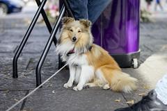 puppy(0.0), street dog(0.0), dog walking(0.0), animal shelter(0.0), icelandic sheepdog(0.0), dog breed(1.0), animal(1.0), dog(1.0), pet(1.0), mammal(1.0), shetland sheepdog(1.0),