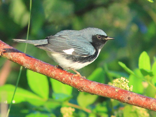 Black-throated Blue Warbler 4-20151014