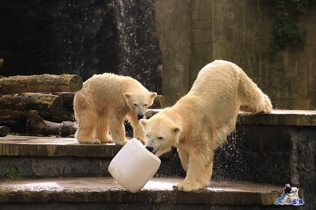 Eisbär Fiete im Zoo Rostock 26.09.2015   0100