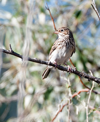 Vesper Sparrow (Pooecetes gramineus)_DSC1423e