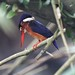 Blue eared Kingfisher (Female) at Taman Melawati by Tok Ki, an idiot with cameras. (1.5 mil viewers)